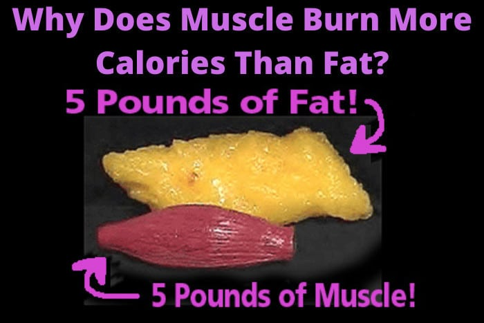 Why Does Muscle Burn More Calories Than Fat