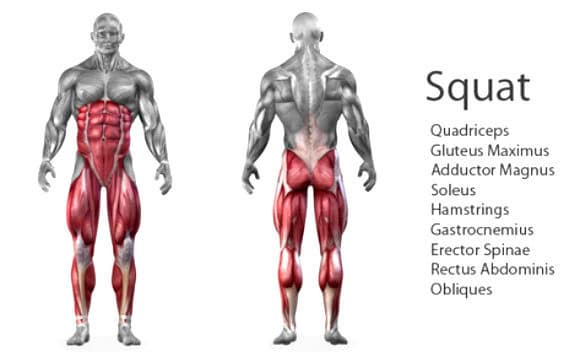 A Skeletal Human Body Showing All The Muscles That Are Worked During The Squat