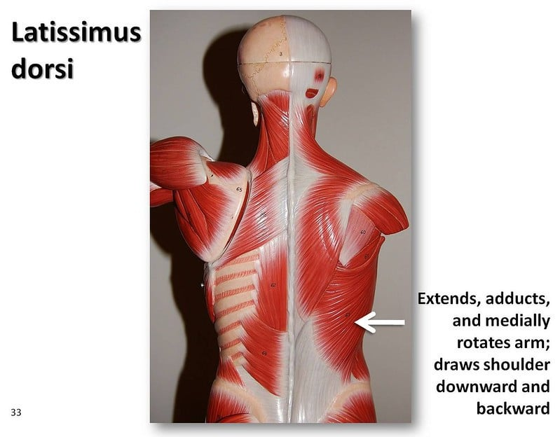 Latissimus Dorsi - Extends, Adducts, and Medially Rotates Arm; Draws Shoulder Downward and Backward