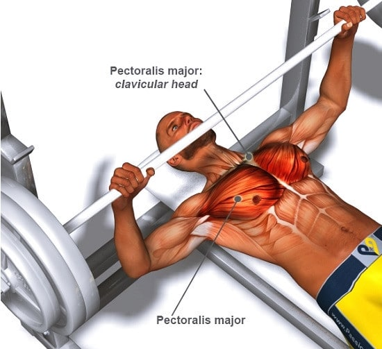 The Chest Muscles Worked During The Bench Press