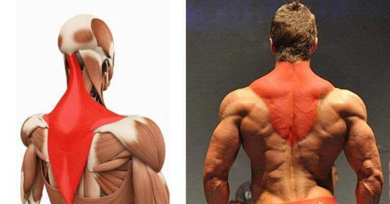 The Trapezius Muscles
