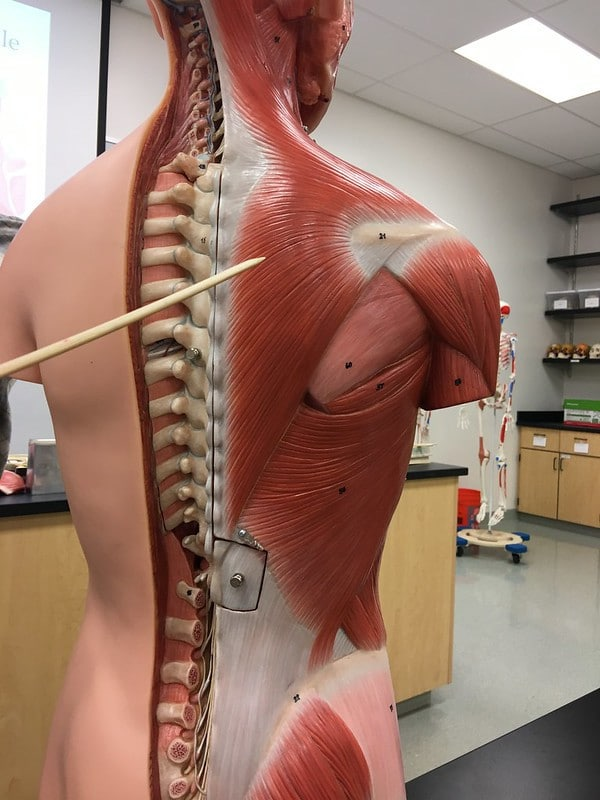 The Trapezius Muscle Being Shown on an Anatomical Model