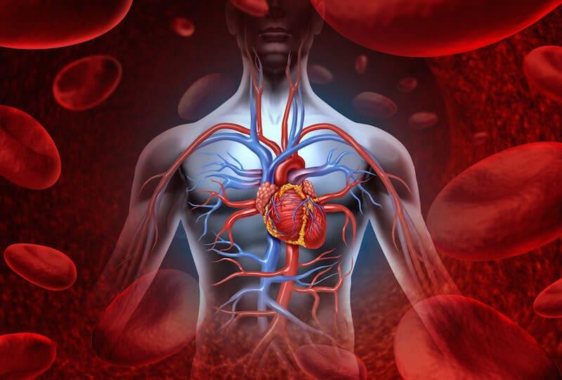 A Human Torso Displaying the Major Organs and Blood Circulation